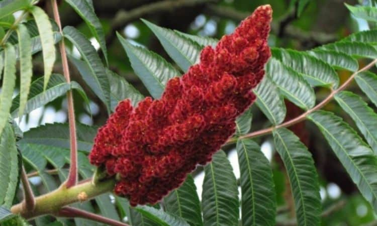 The spicy and acidic seeds of the vinegar tree sit in dark red flasks