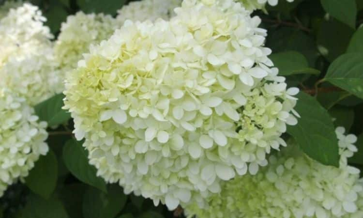The sterile flowers stand close together and together with the fertile flowers form the compact flower panicles