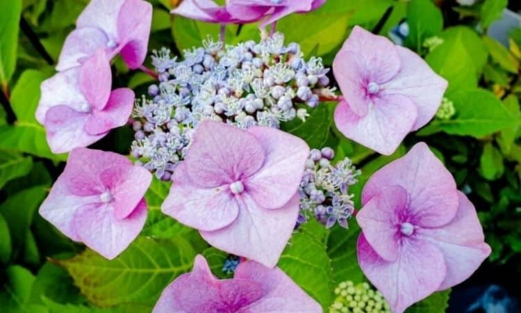 The umbrella-shaped inflorescences of Hydrangea macrophylla have fertile flowers that provide food for insects