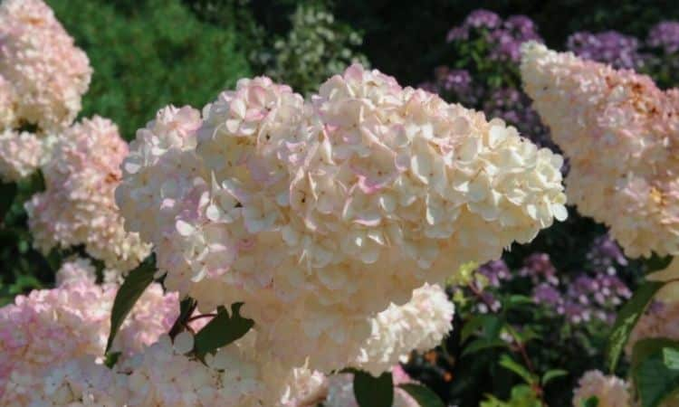 The variety 'Vanille Fraise' forms vanilla white flower panicles with a touch of pink