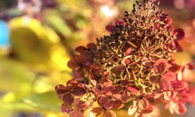 The wilting flower panicles of the panicle hortensia look very decorative even in winter