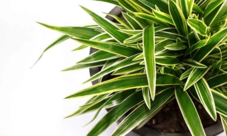 We show you how to keep your dragon tree beautiful for a long time
