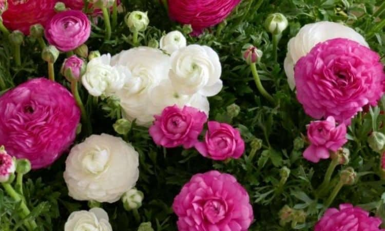 Withered flowers and leaves should be removed from the ranunculus