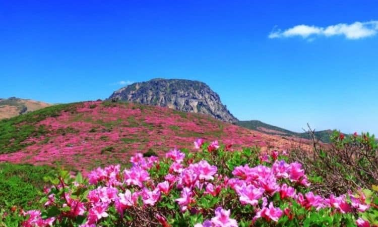 azalea flower with mounth