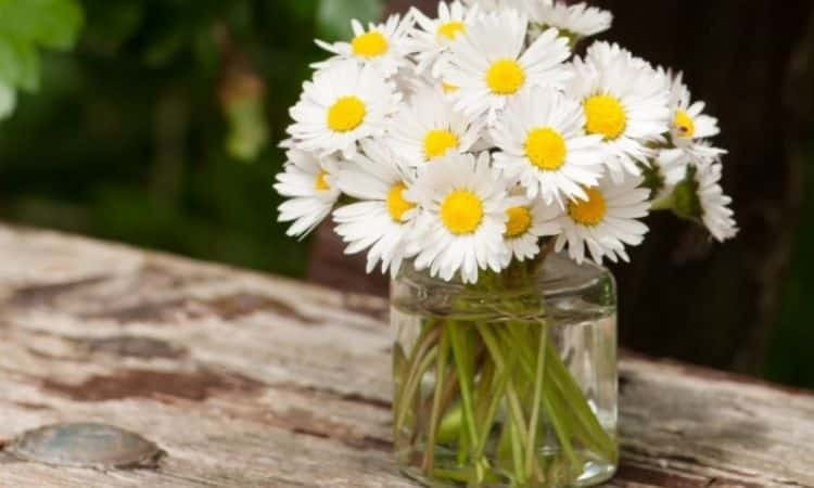 bunch of Common Daisy (Bellis perennis)