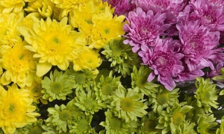 Fine flower chrysanthemums