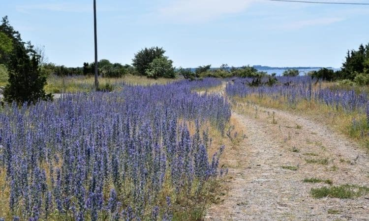 common-viper's bugloss blooming