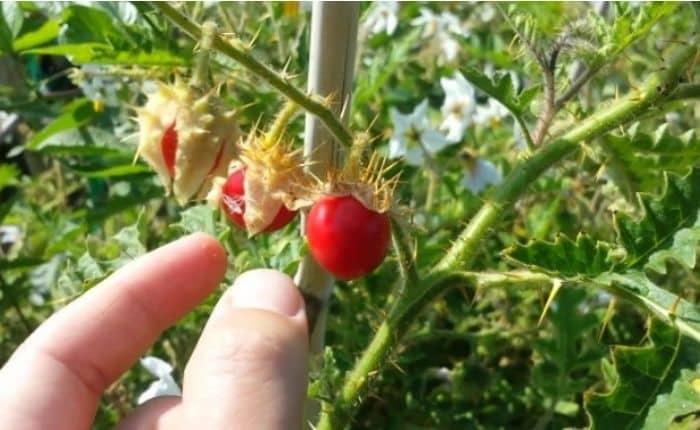 grow tomato lichi