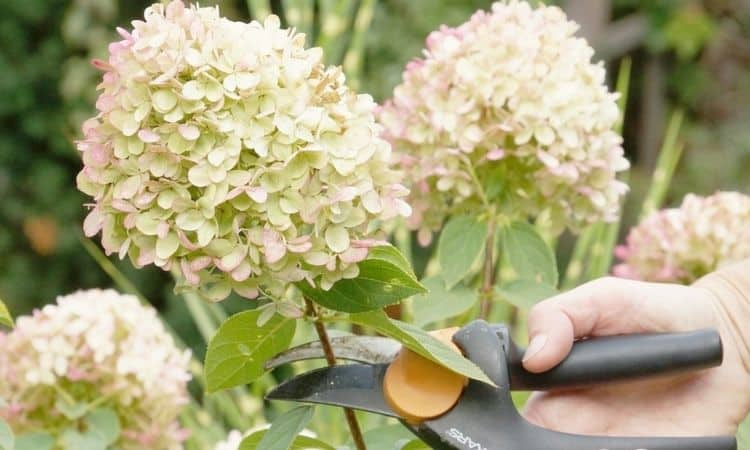 hydrangea-cutting
