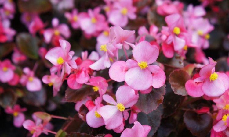 ice begonia-pink-blooms