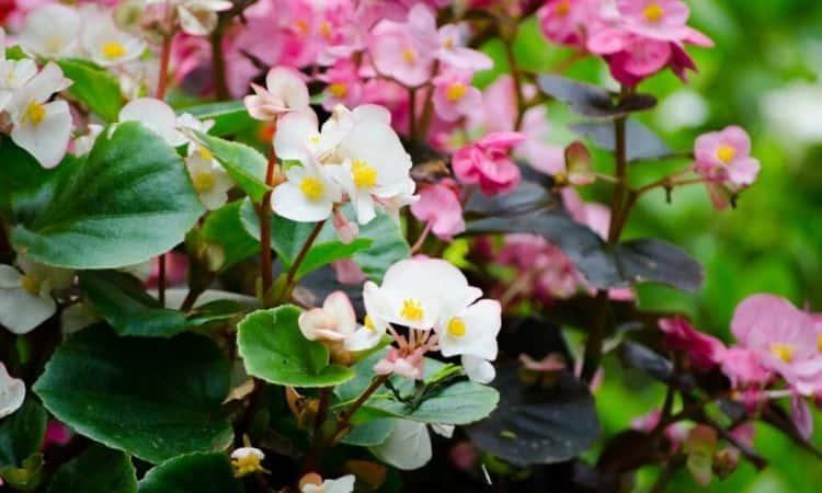 ice begonias-white-pink-blooms