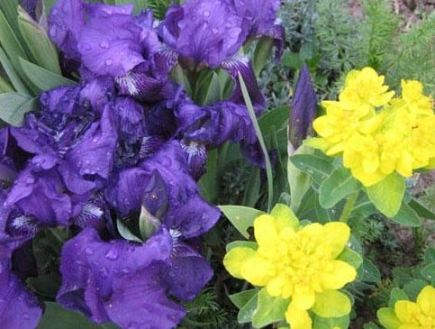 My Iris Flower