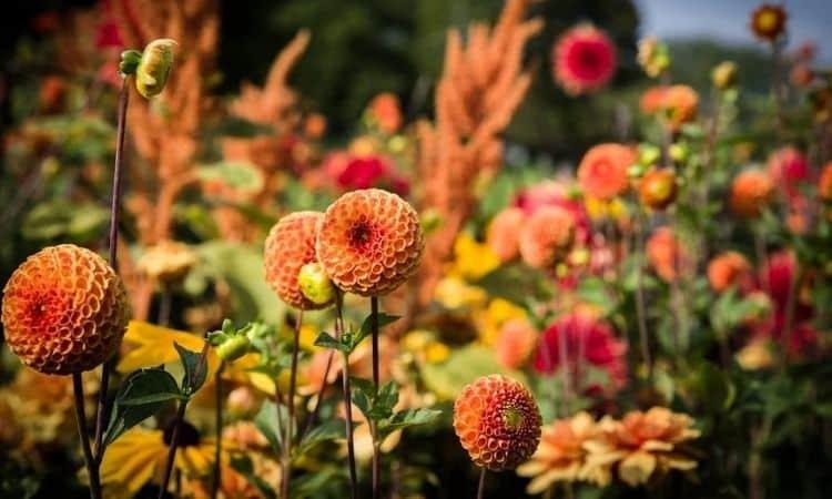 orange dahlias in the garden