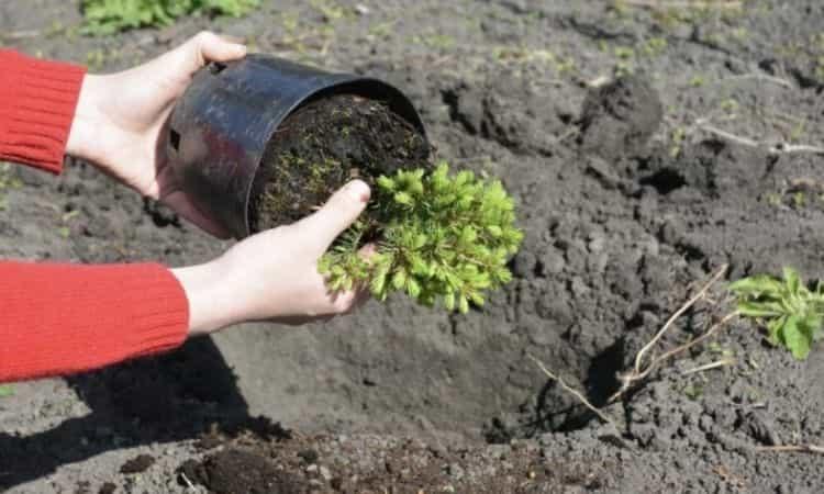 planting evergreen plants