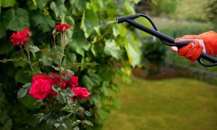rose bush treatment against pests