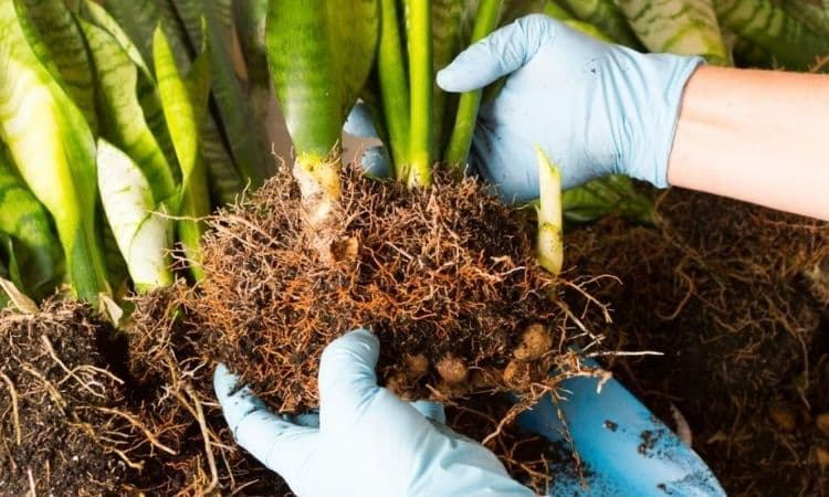 snake plant cuttings