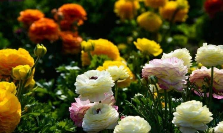 the Ranunkel is called also Persian buttercup