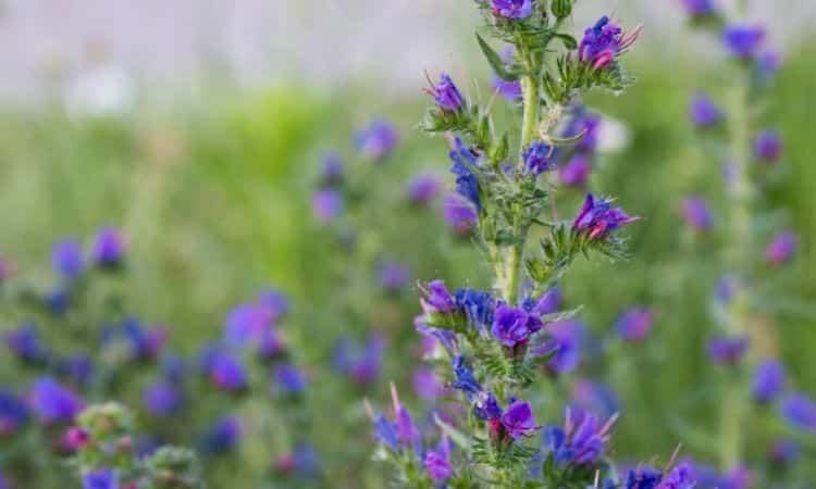 viper's bugloss, blueweed flowers