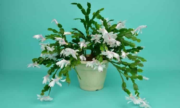 white flower on christmas cactus