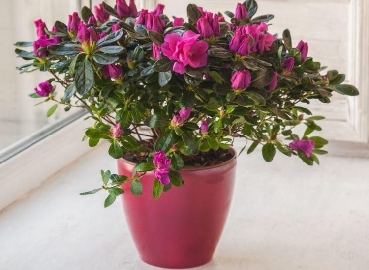 Azaleas purple flower bucket