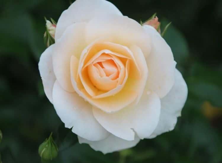 Bedding Rose Sirius