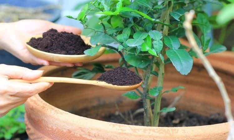 Coffee grounds-given-into-flower-pot