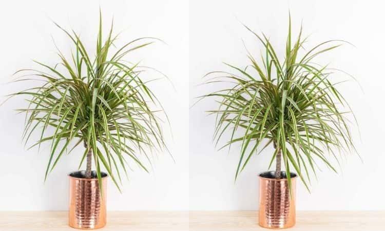Dracaena in copper pot