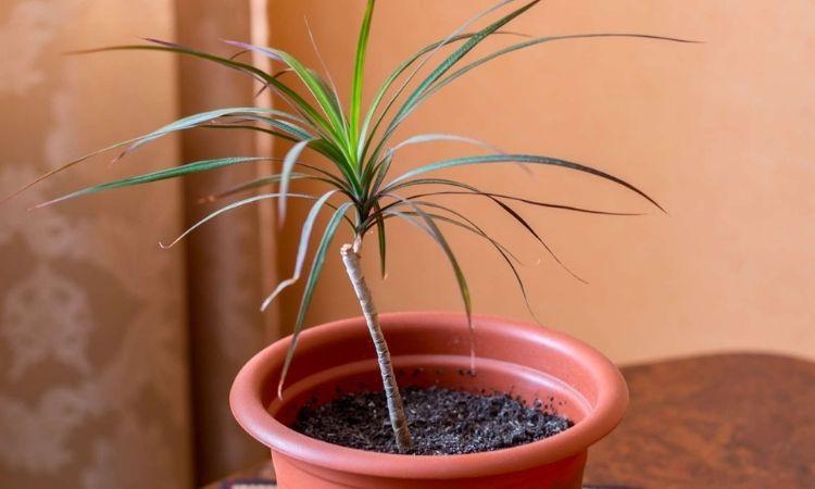 Dracaena-marginata-young-plant