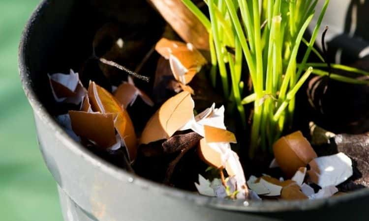 Eggshells-in-a-cut-lactation-pot
