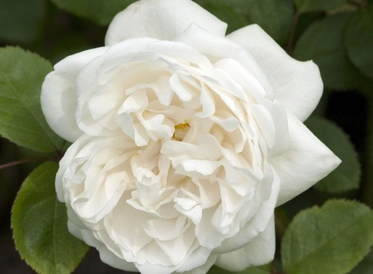 English Rose Winchester Cathedral