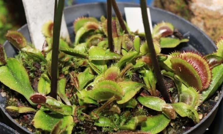Feeding carnivores plant in pot