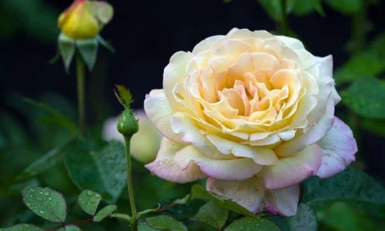 Gloria-Die-rose