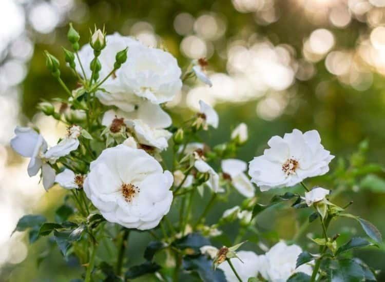 Ground Cover Rose Innocencia