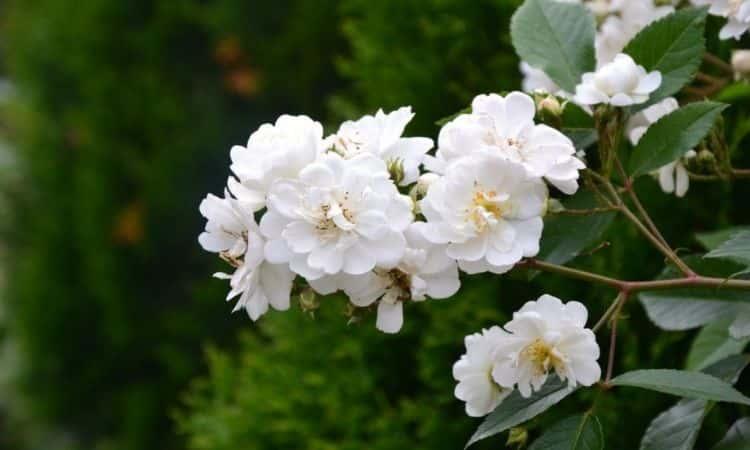 Guirlande-dAmour-white-rose-bush