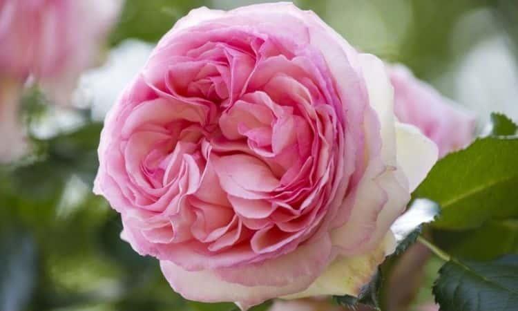 Jasmina-rose