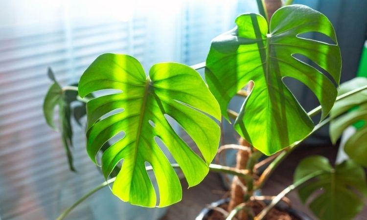 Monstera Adansonii leaves on the windowsill