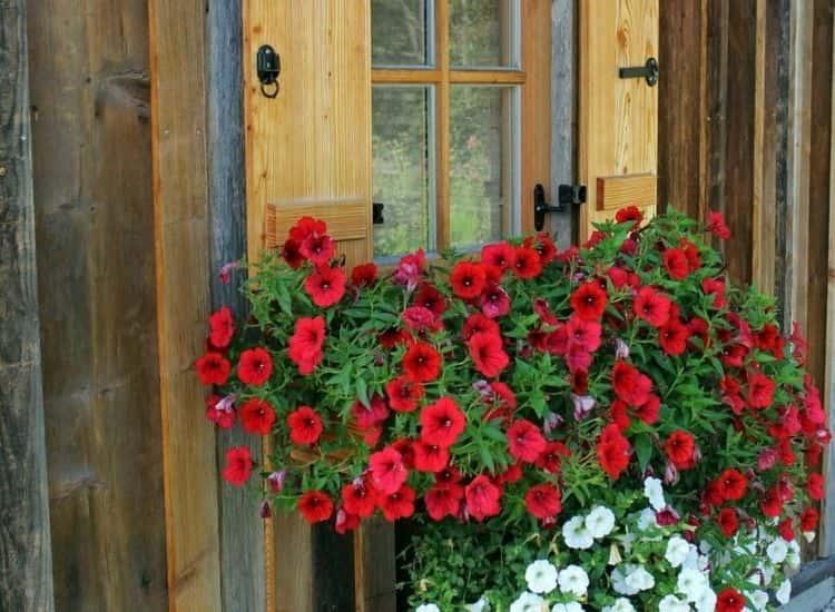 Petunia windowsill