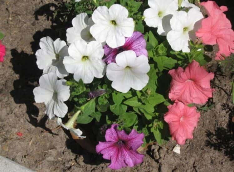 Petunias bloom in the garden