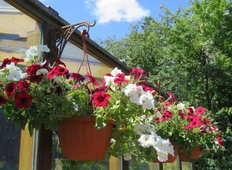 Petunias plant in the pot