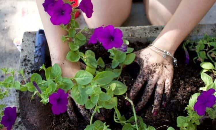 Petunias-planting