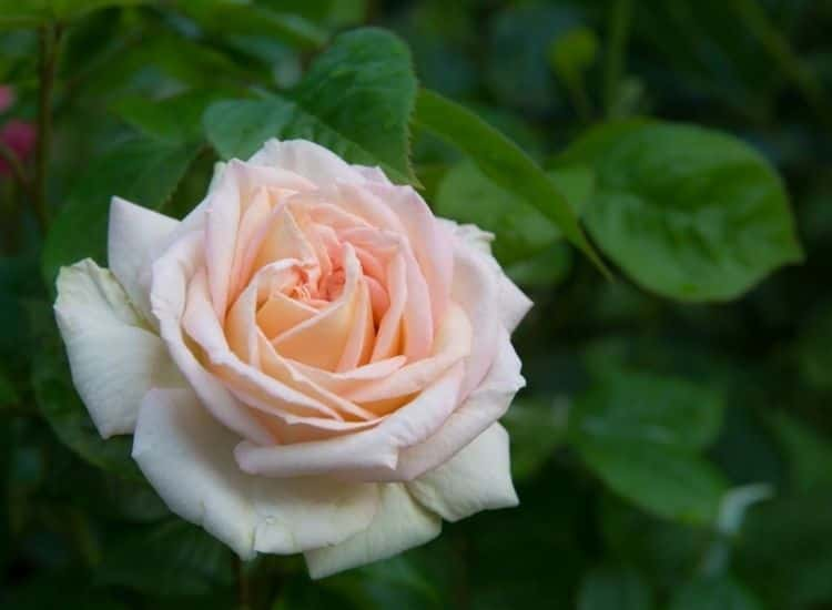 Rose Madame Anisette