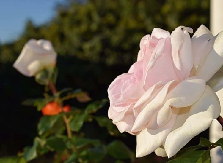 Rose Schloss Ippenburg
