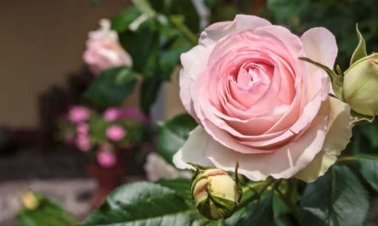 Rose-sorten-Eden-85