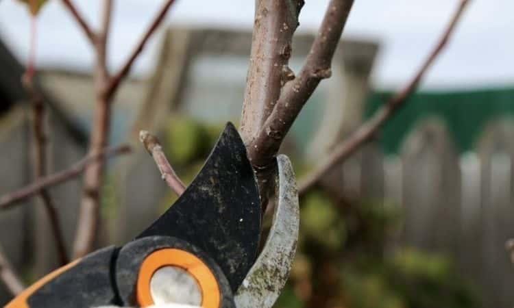 Saint Barbara branch pruning