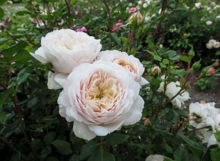 Shrub rose Artemis