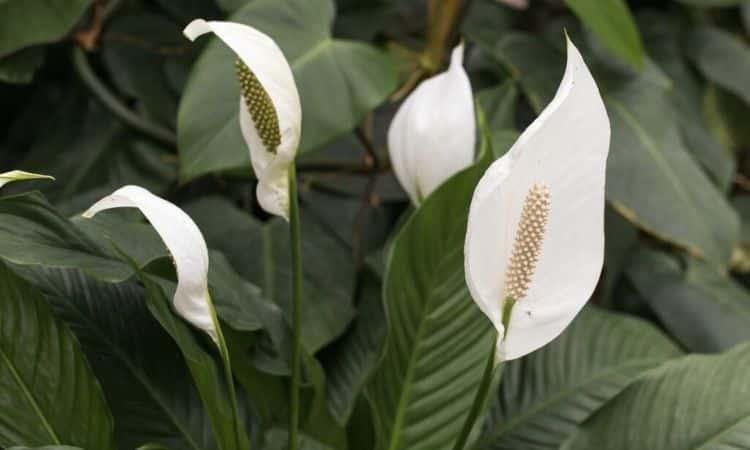 Spathiphyllum white flower