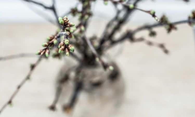 barbara day cherry branch