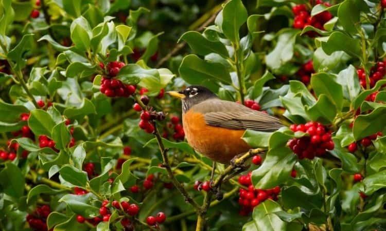 bird holly bush sitting