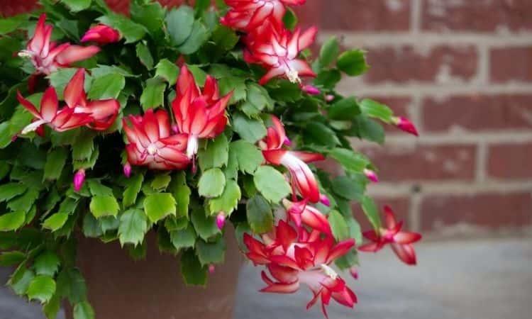christmas cactus christmas plant