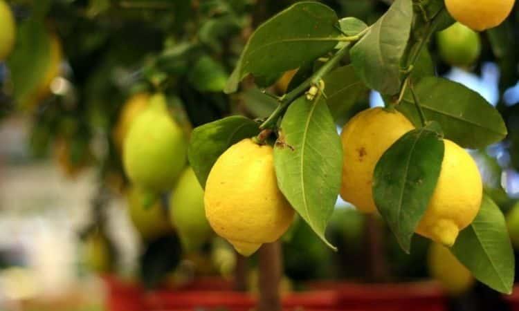 citrus tree fruits